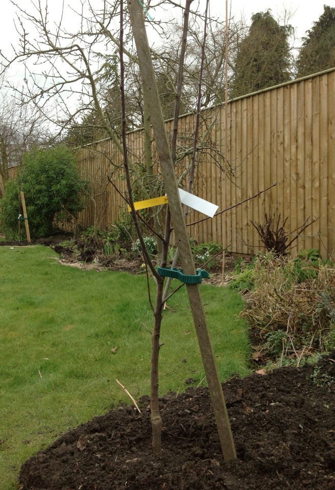Greengage tree