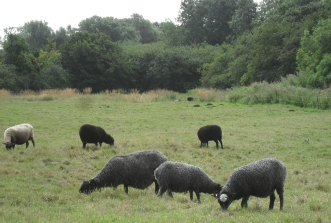 Gotland sheep in field