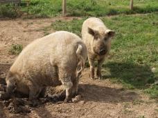 Muddy pigs
