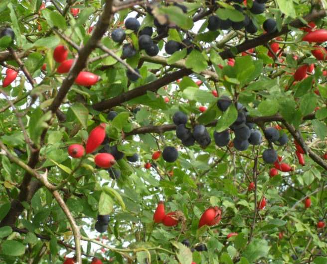 Sloes and rosehips