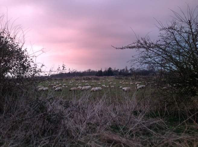 Sheep in the evening